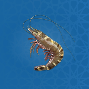 Sea Tiger Shrimp - U7