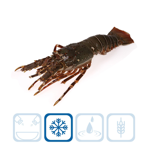 Rock Lobster Whole - Small