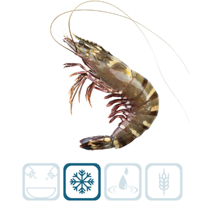 Sea Tiger Shrimp - U5